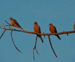 DSC_0107-four-doves